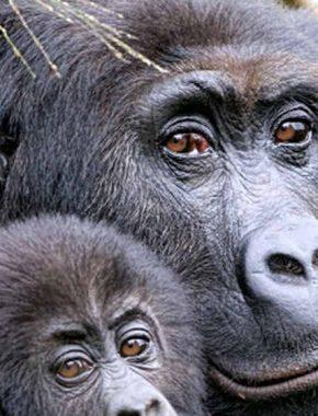 9 Days Uganda Rwanda & DR Congo Gorilla Safari