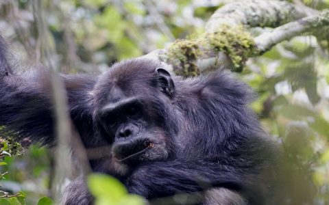 5 Days-4 Nights Chimpanzee tracking tour in Kibale Forest National Park offers the best experience of observing Chimpanzees in their natural habitat in Uganda. Kibale Forest has the biggest population of Chimps