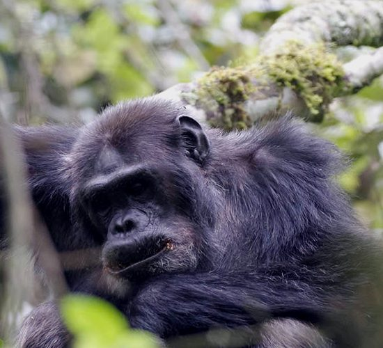 3 Days Chimpanzee Tracking Safari in Kibale Forest National offers the best experience of observing Chimpanzees in their natural habitat in Uganda. Kibale Forest has the biggest population of Chimps