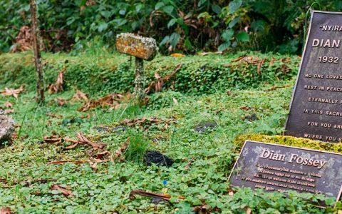 6 Days Congo Gorilla Trekking Safari takes you to Volcanoes National Park & Virunga national park to encounter mountain gorillas and hike active volcano Nyiragongo. the ultimate gorilla safari expedition to visit Rwanda & Congo a multi-country safari adventure holiday