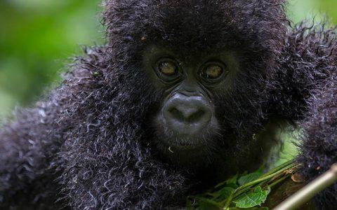 3 day Congo gorilla experience tour starts in Rwanda, you will then transfer to Virunga National park in Democratic republic of Congo via Uganda's boarder