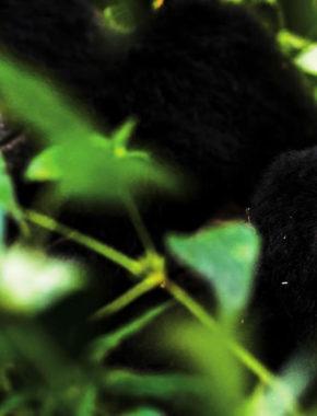 4 Days Rwanda Gorilla Trekking Tour