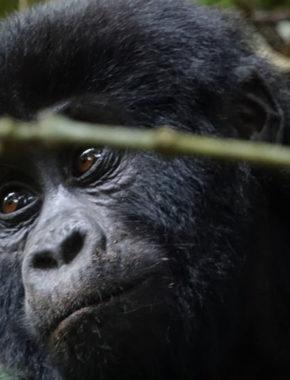 5 Days Gorilla Trekking Experience