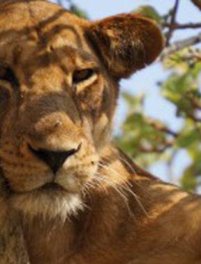 4 Days Tree Climbing Lions And Chimpanzees