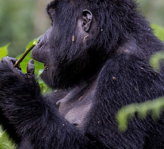 10 days Gorilla and Chimpanzee trekking combined with game viewing to Murchison Falls, Kibale Forest, Queen Elizabeth, Bwindi Impenetrable Forest and lastly Lake Mburo National Parks safari