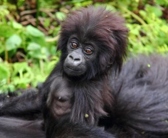 10 days of Gorilla and Chimpanzee trekking combined with game viewing to Murchison Falls, Kibale Forest, Queen Elizabeth, Bwindi Impenetrable Forest, and lastly Lake Mburo National Parks safari, takes you through the most scenic places in the pearl of Africa