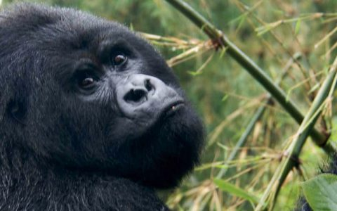 7 Days Gorilla Trekking & Wildlife Safari Holiday Rwanda allows you to explore the best destinations of Rwanda in detail. You will reach the different national parks each offering a unique experience,